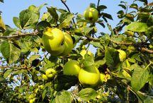 #Sidra #Cider / La sidra es la bebida que procede del mosto fermentado de la manzana. En Asturias se produce y consume más sidra que en ninguna otra comunidad de España.