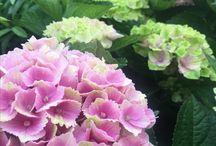 Color in Hydrangea Flowers