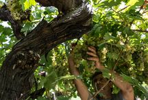 Harvest 2015 - Monte Fiorentine / In questi giorni stiamo ultimando la vendemmia della vigna di #MonteFiorentine.  Sono le vigne più vecchie della nostra azienda, quelle vigne piantate da nonno Beo che hanno accompagnato il nostro percorso di crescita nel corso dell'ultimo secolo.  A queste vigne siamo molto affezionati e vogliamo condividere con voi alcuni scatti. http://bit.ly/1jJK2bn
