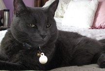 Pookee Cat / Author Rita Gerlach's beautiful grey she and her husband rescued.