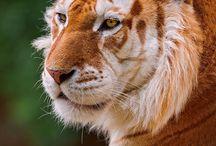 Tigres-gatos