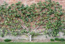 espalier ovocné stromy