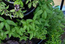 Herbs / by Betty Haenny Smock