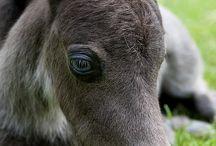 Miniature horses / Mini horses