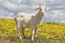 козы на даче