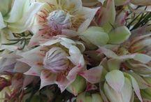 Blushing Bride - Protea