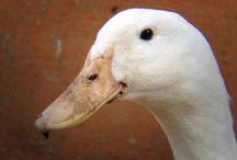 Keeping Fowl / Ducks, Chickens, Quail & Guinea Fowl