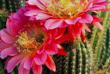 Кактусы и др. цветы