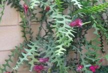 plantas selenicereus