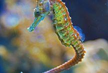 Seahorses / Under the sea where the horses live...