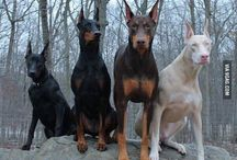 Dobermam / by Sub Sir