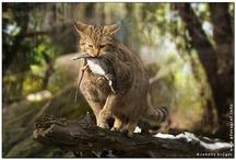 Wildkatze - European Wildcat