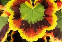 """ΠΕΛΑΡΓΟΝΙΟ - PELARGONIUM. (Γεράνι, Πελαργόνιο, Βαμβακούλα, Αρμπαρόριζα) /  To Πελαργόνιο (Pelargonium) (κοινώς """"πελαργόνι"""") είναι μέλος της οικογένειας των Γερανιίδων (Geraniaceae) και σε αυτό ανήκουν πάνω από 200 είδη πολυετών, παχύφυλλων ποωδών."""