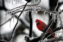 Cardinals / by Kathy Packman