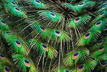 Regal Peacocks / by Barbara Collin