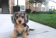 The Cutest Miniature Dachshunds EVER