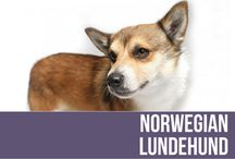 Norwegian Lundehund / The Norwegian Lundehund is a small, agile Spitz breed with unique characteristics in combination not found in any other dog. Features such as six toes on each foot; prick ears that fold closed, forward or backward at will; and the ability to tip the head backward until it touches the back bone all helped them perform their job as Puffin hunter. Their dense coat ranges from fallow to reddish brown to tan in color, with black hair tips and white markings, or white with red or dark markings.