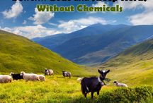 Goats and Diatomaceous Earth / Diatomaceous earth is great for everything, even goats.