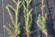 Sadzonki, siewki drzew i krzewów ozdobnych