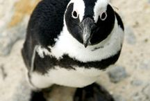 Penguin Point / There's a new bird in town, our new penguin exhibit is now open! Waddle your way to the Vancouver Aquarium this summer and meet the new African penguins. These charming little characters are now calling the Vancouver Aquarium home. / by Vancouver Aquarium