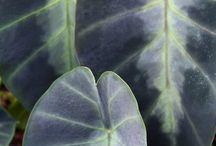 2015 PDN Colocasia / The elephant ears for sale from Plant Delights Nursery differ from the mundane, green box-store elephant ear bulbs. We offer many new and hard-to-find colocasia (taro plant) selections with unique colorful leaves and stems.Whether you are looking for a chartreuse, red, or black elephant ear, we have what you want...even variegated elephant ears.