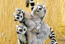 Infraorder Lemuriformes.