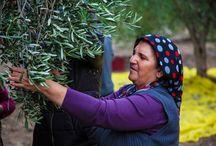 Yırca'da hem nöbet hem hasat / İki ayı aşkın süredir zeytinliklerini bekleyen Yırcalılar, zeytinleriyle kucaklaştı, hasatını yaptı. Bereketli olsun!  Türkiye'nin farklı illerinden gelen yüzlerce kişi de dün gece ve bugün Yırcalıların nöbet ve hasatında yanlarındaydı. 18 Eylül'de kömürlü termik santral için zeytin ağaçlarının hukuksuzca kesilmesi ve bu kesimin sürdürülmesi üzerine başlayan Yırca nöbeti sürüyor.  #ZeytinimiKesme demek için >> http://wefb.it/A5887E / by Greenpeace Türkiye