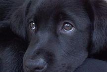 Mustat labradorinnoutajat