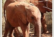 """The DSWT // Sonje / Sonje, a lone female calf, was rescued on 11th February 2012. Too weak and too lame to put up much resistance, it was clear she was in desperate need of help.  She had a serious injury to her right leg, and had two small scars from poaching wounds. Named after the Mliangulu word for """"lame"""", Sonje soon began eagerly taking milk from the keepers and settled well. To learn more about Sonje's progress and how to foster her, visit http://sheldrickwildlifetrust.org/asp/fostering.asp / by David Sheldrick Wildlife Trust"""