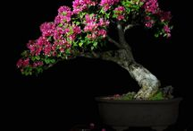 bonsai flor