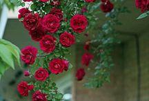 Mona Rosa beyaz güller ak güller