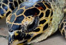 Hawksbill Sea turtle / Tagging
