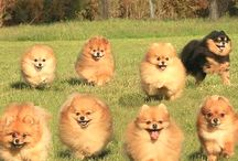Pomeranians // poms