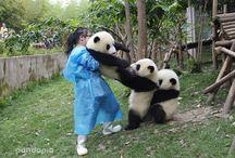 Animales graciosos osos pandas