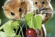 mišky