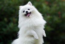 Pomeranian puppy love!
