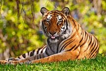 Tiger loving / Beautiful creatures