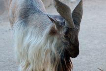 chèvre ❤️