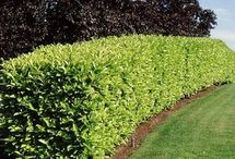 Hedging for Summerford Cottage / The red and green hedge is Photinia Red Robin which is most colourful in spring when the new leaves come out red and turn green with age. The evergreen hedge Prunus laurocerasus Novita is the narrow leaved evergreen laurel which makes a denser hedge more quickly