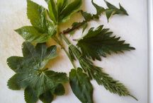 wild herbs - essbare Wildkräuter / Fotos und Rezepte von essbaren Wildkräutern