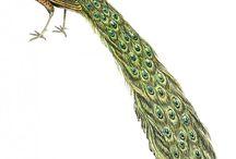 Peacocks vintage images