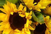 Garden - Sunflowers