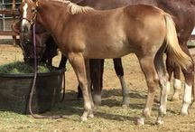 Western Sale Horses / Western performance, rope and ranch horses for sale. Reiners, reined cow horses, colts, cutters and more. Barrel horses and prospects. Horse classifieds for all breeds and disciplines. Find horses for sale or sell your horse online for free.