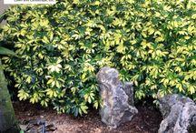 Plants / Hedges, shrubs, ground cover