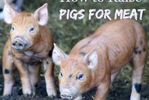Rearing pigs