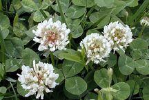 WICCA:magic of: herb/flower etc