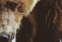 Medvede