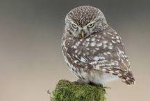 Clash of Titans Tattoo - Little Owl