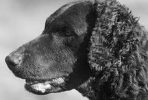 Curly coated retriever / Hunderasen Curly coated retriever