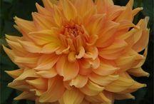 Yellow/Orange Dahlias